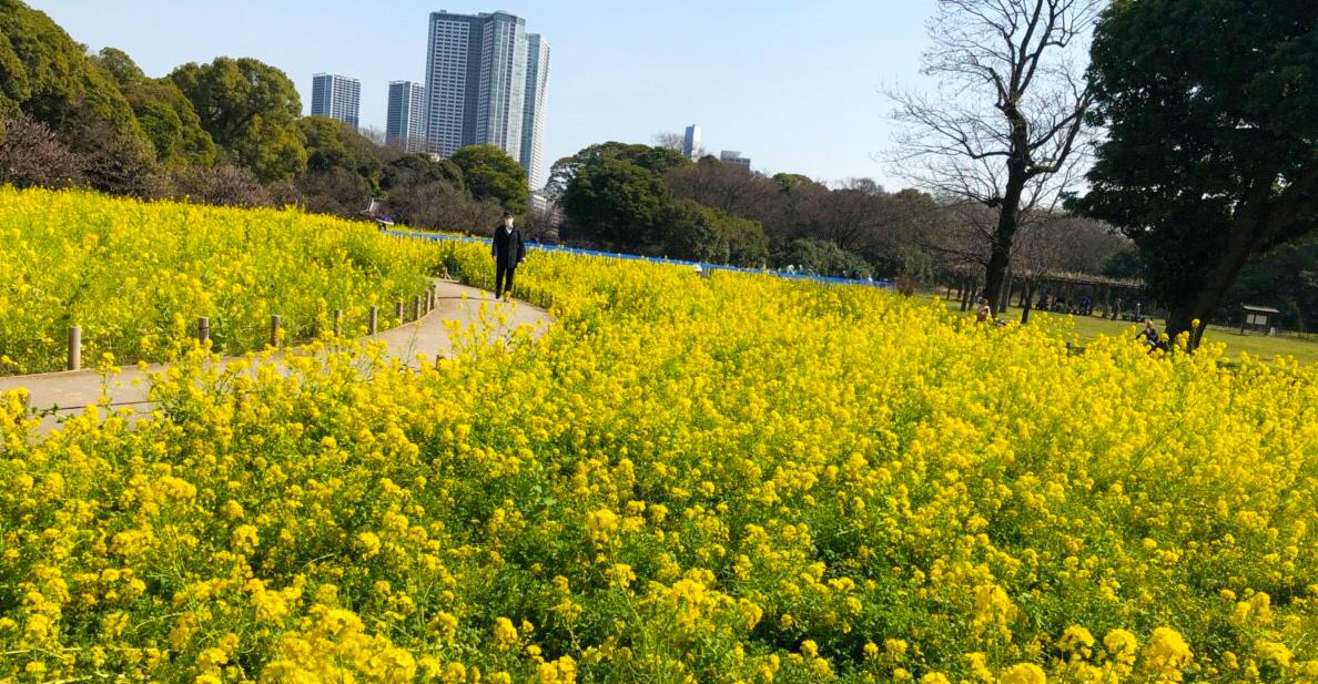 東京 浜離宮恩賜庭園 菜の花畑鑑賞&お台場バイキングツアー催行!